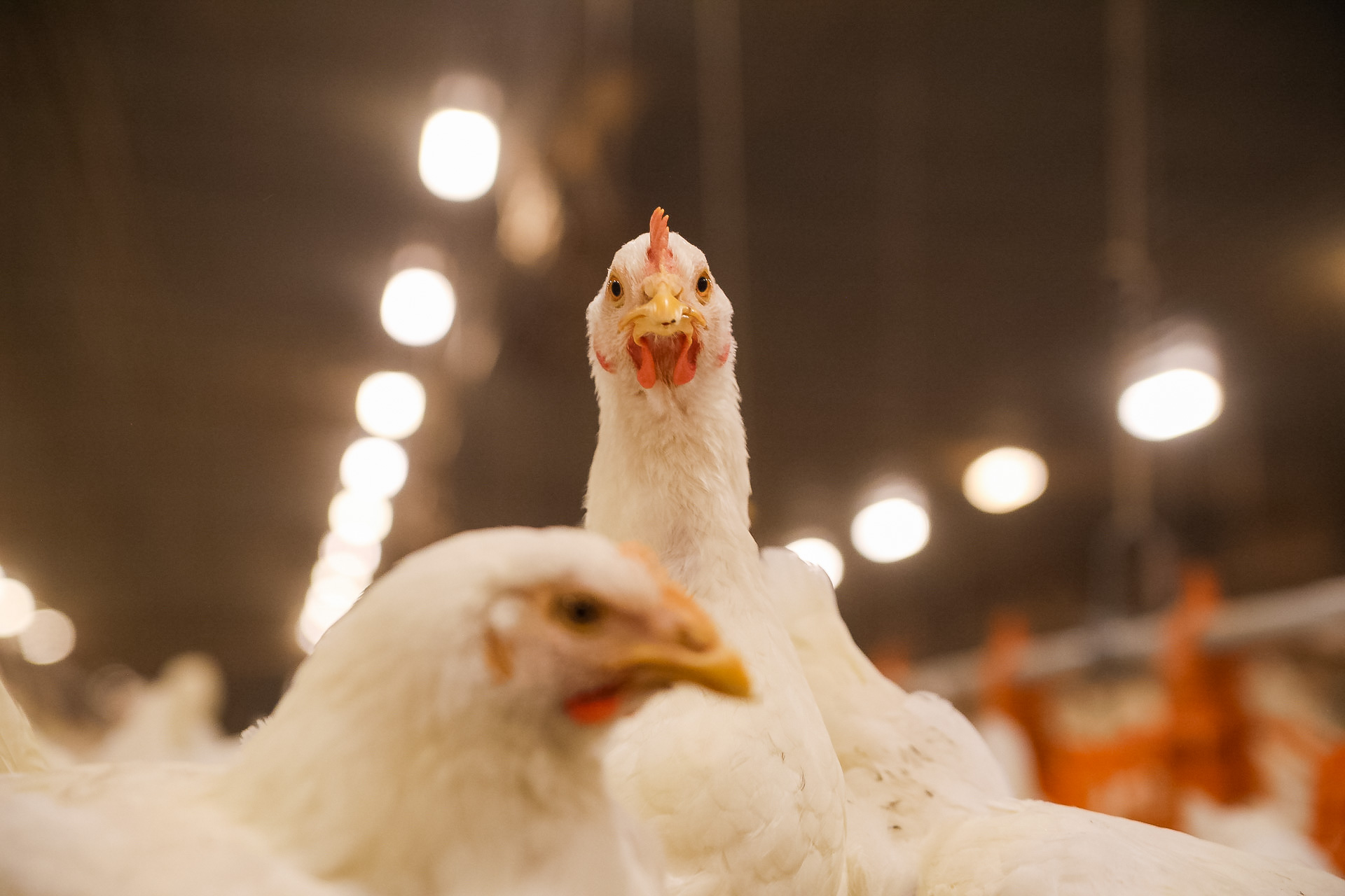 Lincoln Premium Poultry adds value to Nebraska grain and creates economic opportunities
